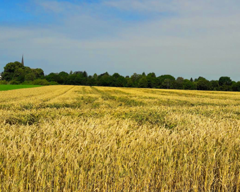 Grainfield at the Lower Rhine